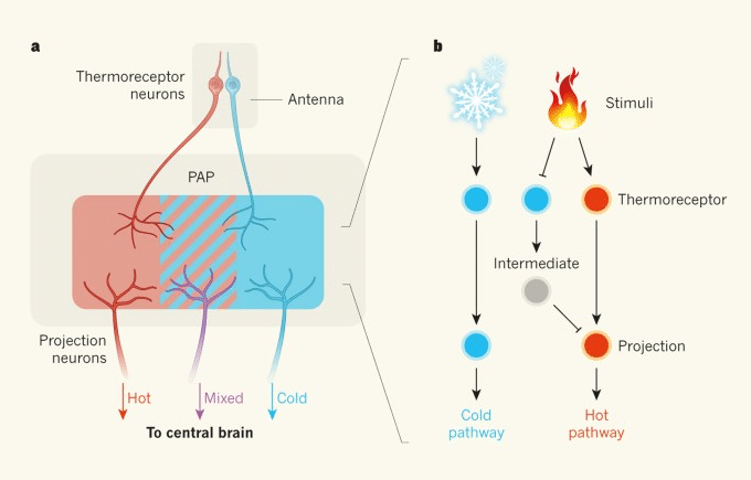 Thermoreceptors: Definition & Function