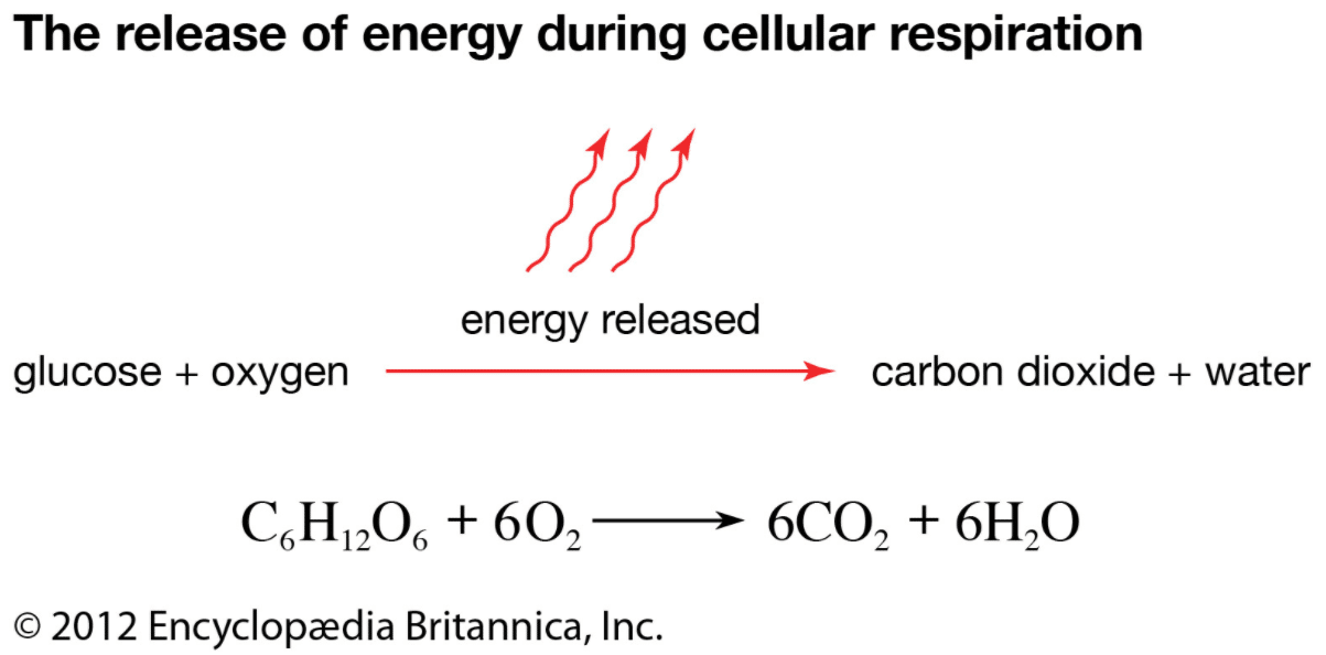 What Are the Reactants withinside the Equation for Cellular Respiration?